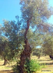 Древнее дерево оливы