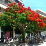 Цветущее дерево в Ираклионе
