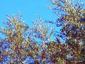 Ветви оливкового дерева