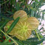 Плоды критского растения