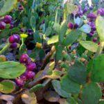Съедобные плоды кактуса