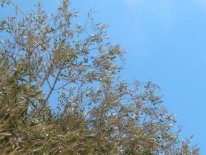 Как растут оливки на дереве