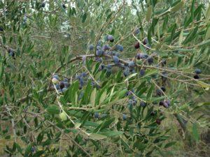 Спелые оливки на ветках