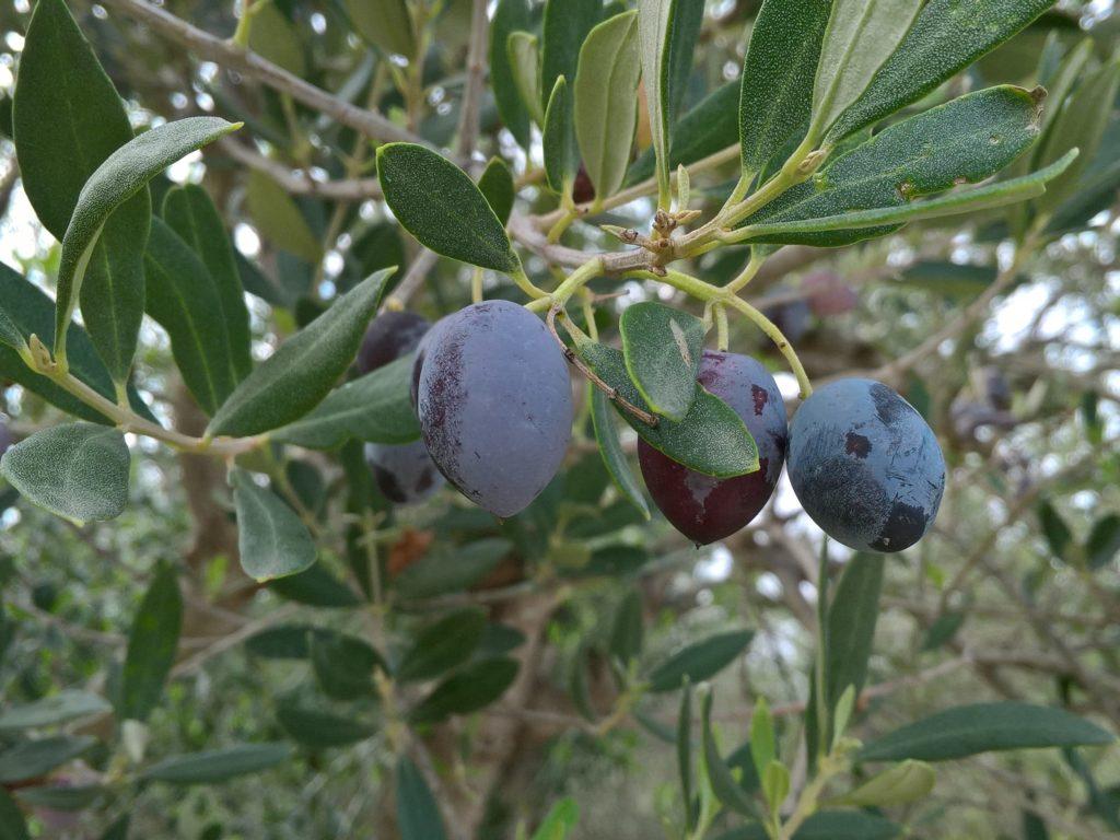 Зрелые оливки на ветке